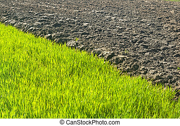 Rows of Fresh Young Green Seedling - green sprouts, pshenici...