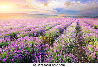 lavender. - field of blooming lavender in the mountains at...