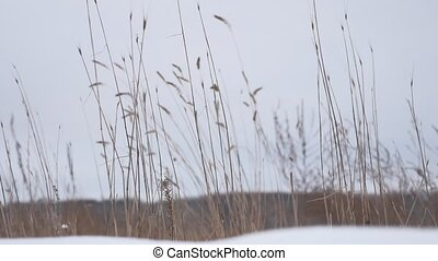 dry grass sways in the wind snow winter field nature...