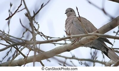 Mourning Dove turtledove bird bird Zenaida macroura on a...