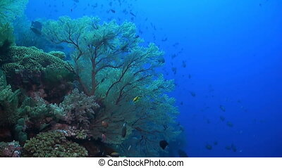 Snapper on a coral reef - Huge sea fans with plenty of fish