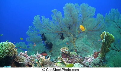 Colorful coral reef in Philippines with huge sea fans,...