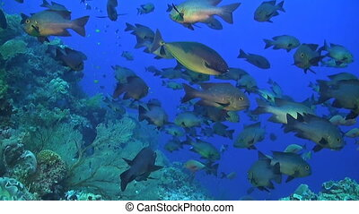 Midnight and Humpback snapper - A school of midnight and...