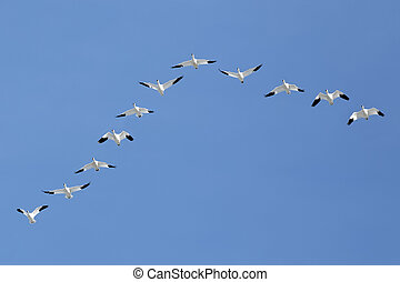 Migrating Snow Geese Flying in V Formation
