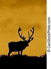 Caribou Bull in Sunset - a caribou bull silhouetted in a...
