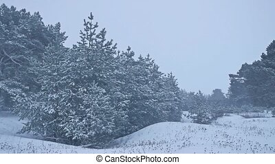 Beautiful christmas tree nature in blizzard winter landscape...