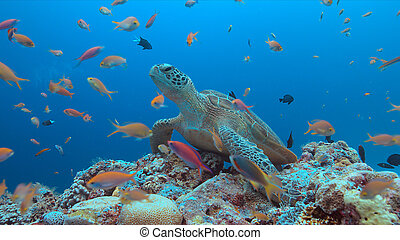 Green Sea turtle on a Coral reef - Green Sea turtle on a...