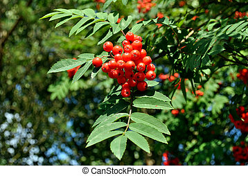mountain ash berries - some mountain ash berries in the...