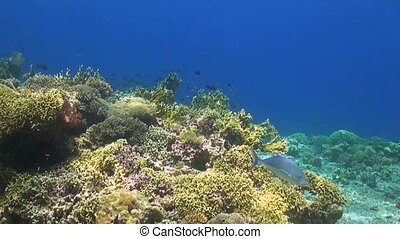 Colorful coral reef in Philippines with grouper, snapper,...