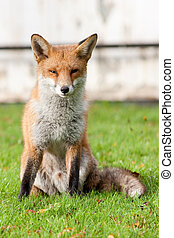 Wily Red Fox Sitting on Grass