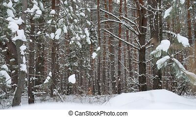 Christmas tree branch in snow pine winter fairy forest...