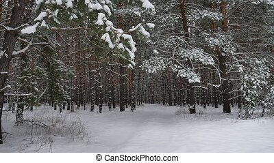 Winter forest nature snowing pine forest with snow landscape...