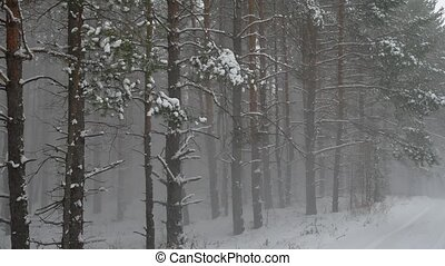 Winter wind storm forest nature snowing pine forest with...
