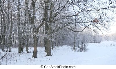 oak forest Winter trees in the snow nature landscape...