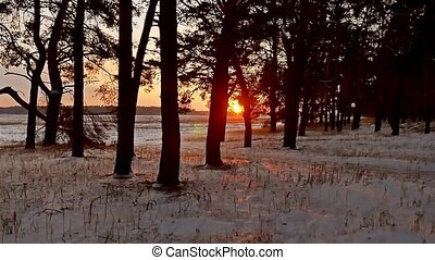 winter evening forest and sun landscape. sun christmas tree...
