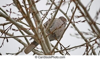 Mourning Dove turtledove bird Zenaida macroura on a tree...