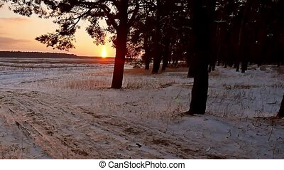 winter forest and evening sun landscape. sun christmas tree...