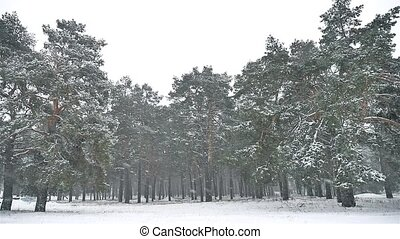 snowstorm blizzard in the woods snowing winter, nature...
