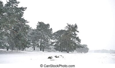 snowstorm blizzard in the nature woods snowing winter,...
