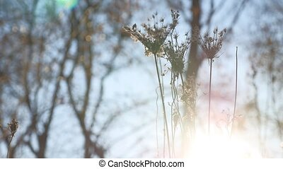 dry grass swaying in the wind silhouette sunlight nature...