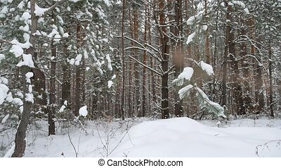 Dry trunks of pine christmas tree tree trunks winter forest...