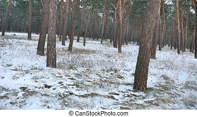 pine forest winter christmas motion tree snow field in...