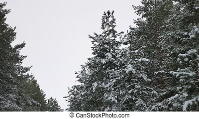 tree tops christmas of the trees in the snow Winter...