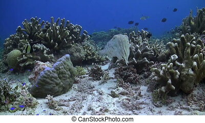 Cuttlefish on a coral reef with Bannerfish and Surgeonfish