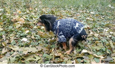 Dog Making A Poop on the grass - Small Dog making a poop on...