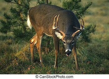 Whitetail Buck - a whitetailed buck looking curious