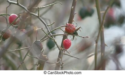 sweet briar tree rosehip bush old dry winter - sweet briar...