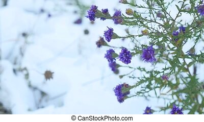purple flowers in the snow winter landscape nature - purple...