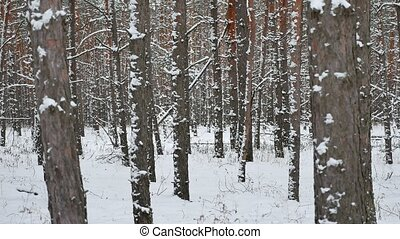 Dry trunks of pine christmas tree winter forest nature...