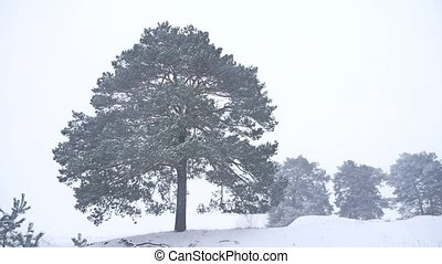 lonely christmas tree pine grow in winter snow storm nature...