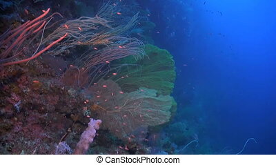 Huge sea fans on a colorful coral reef