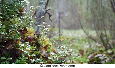 Wild berry cranberries growing in forest. Vaccinium...