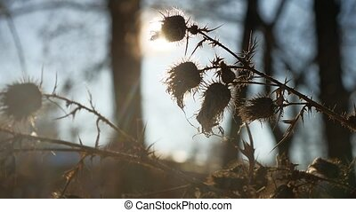 thorn silhouette dry grass sways in the wind against a...