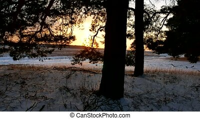 winter landscape sunset in the forest, fabulous nature pine...