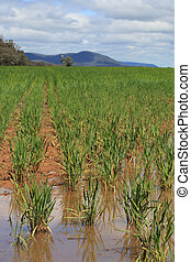 Waterlogged wheat crops after partial flooding in Central...