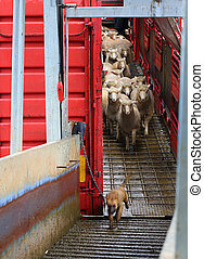 Sheep being offloaded livestock truck - Quite a messy job in...