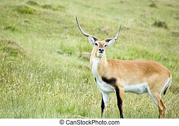 Black Buck Antelope - Black buck natelope in captivity