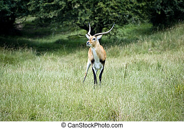 Black Buck Antelope - Black buck antelope in captivity field