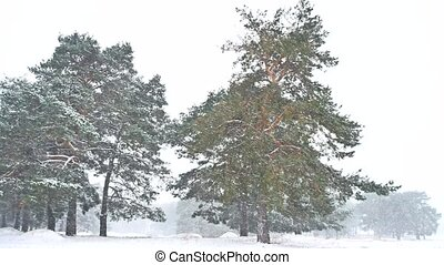 Beautiful blizzard christmas tree nature in winter landscape...