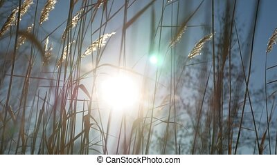 dry grass spikes swaying in the wind winter marsh snow sunlight landscape nature