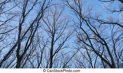 tops of trees in the snow frozen forest against blue sky...