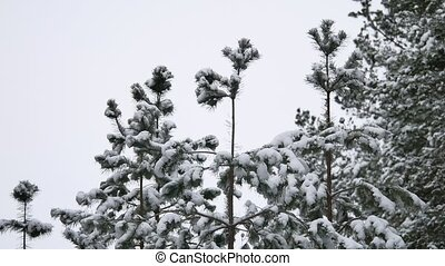the treetops of pine nature forest christmas tree snow...