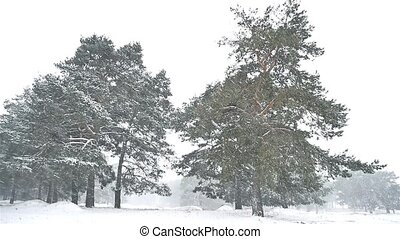 snowstorm blizzard the nature woods snowing winter,...