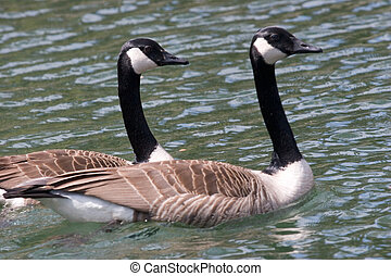 Together - Mated for life, two Canada Geese swim together.