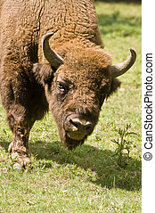 European Bison - Powerful intimidating European Bison