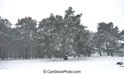snowstorm nature blizzard in the woods snowing winter,...
